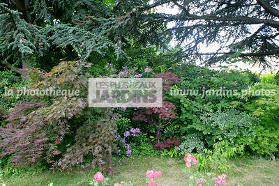 Bush, Conifer, Digital, Downy Japanese Maple, Ornamental foliage, Plants, Plants for ericaceous soils, Shadow, Tree, Variegated hedge