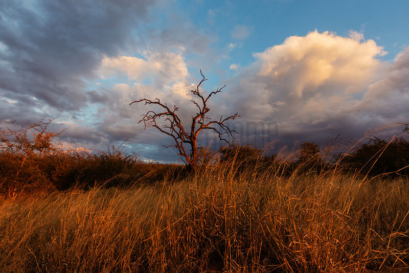 Dead Thorn Tree At Sunset