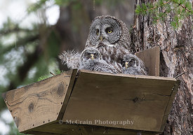 Great Gray Owl, Female with Owlets