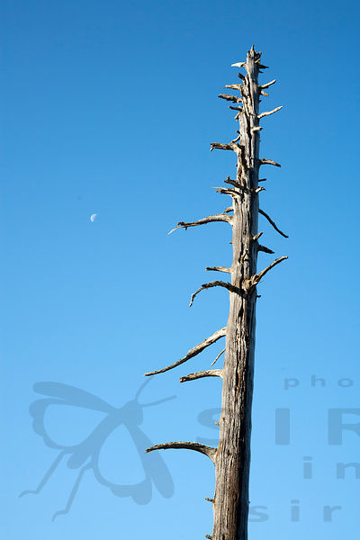 Silver Pine and Moon
