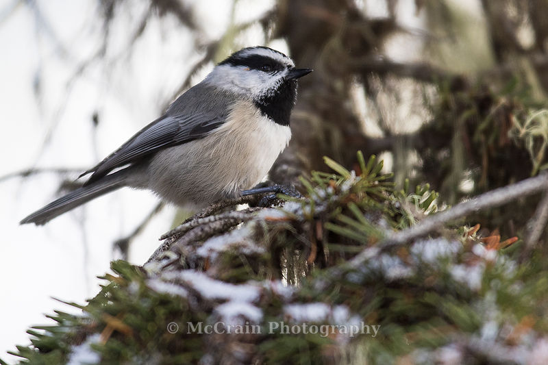 This Mountain Chickadee was part of a mixed flock of Mountain and Boreal Chickadees, Red-breasted Nuthatches, and Golden-crowned Kinglets. You could hear the birds and see  them flit around in the trees but it was challenging to get a clear view.