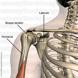 shoulder-labrum-labral-musculus-biceps-brachii-muscle-tendon-front-skin-names