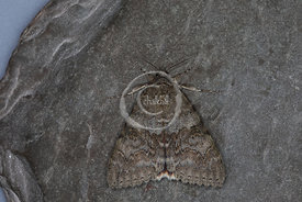 [Catocala nupta [72.078] Red Underwing]-[GBR-Flatford Mill]