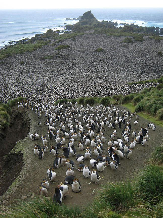 Aerial view of Royal Penguin (Eudyptes schlegeli) colony at Hurd Point, Macquarie Island, Southern Atlantic, Australian Antarctica, November 2007