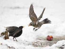 Fieldfare Turdus pilaris fighting with Blackbird Turdus merula over food in garden in freezing weather with snow on the ground Norfolk february
