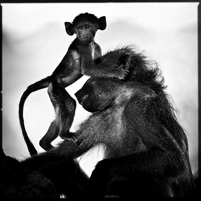7566-Baby_baboon_with_his_mother_Botswana_2009_Laurent_Baheux