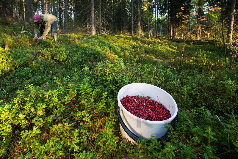 Lingonberry - Superfood!