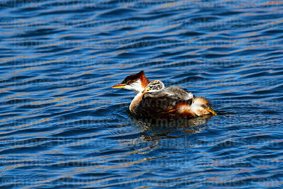 Ducks Geese Grebes Coots Screamers photographs