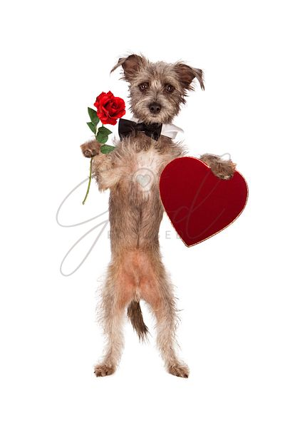 Dog Holding Rose and Heart Box of Chocolates