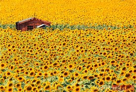 Sunflower field and barn in summer, Provence, France