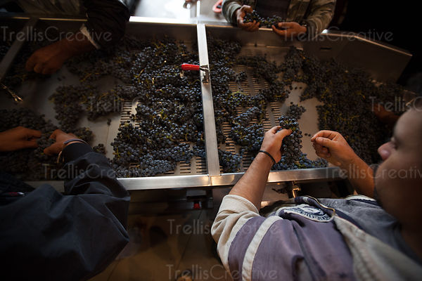 Workers sort grape clusters on a sorting table during wine harvest