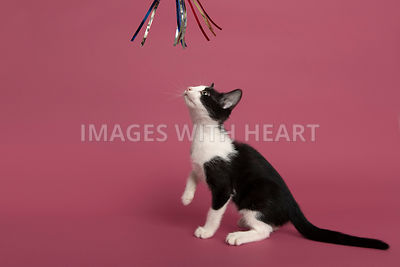 Profile of playful kitten looking up at toy