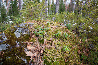 Male Capercaillie's Droppings on Lekking Site