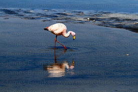 James's or Puna flamingo (Phoenicoparrus jamesi)