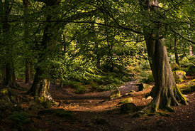 Woodland morning light at Padley