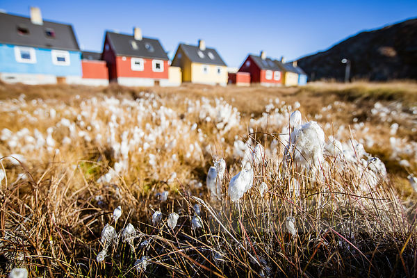 A field of cottongrass in front of typical colourful houses in Ilulissat, Greenland