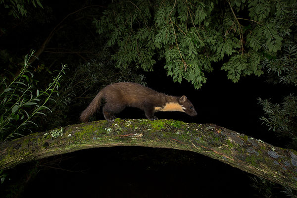 A Pine Marten crosses a fallen tree branch on the search for food...