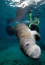 FL, Crystal River, underwater, manatee with snorkeler