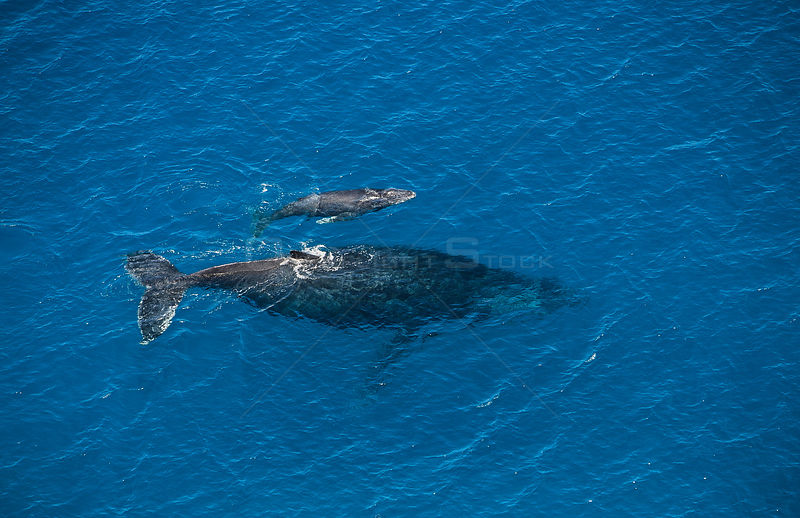Aerial view of Humpback whale and calf (Megaptera novaeangliae) Mayote Island lagoon, Comores Island, North Madagascar, Indian Ocean September