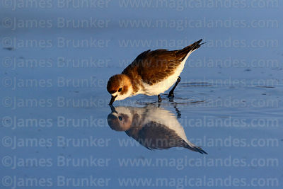 Waders and Plovers photographs