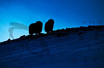 Musk Oxen in the mountains