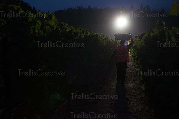 Man carries a bin of harvested grapes on his head at night in the vineyard