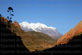 Eucalyptus tree on side of Palca Canyon and Mt Illimani, Cordillera Real, Bolivia
