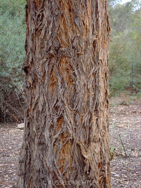 Eucalyptus eugenioides, Thion leaved Stringybark #1