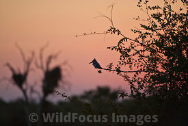 Pied Kingfisher (Ceryle rudis) at Sunset Dam on the H4-1, Lower Sabie, Kruger National Park , South Africa; Landscape