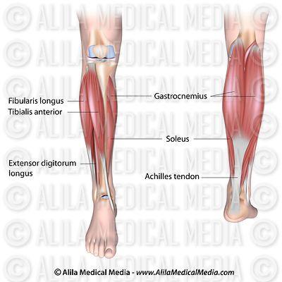Alila medical media orthopaedics sport medicine images videos lower leg muscles ccuart Choice Image