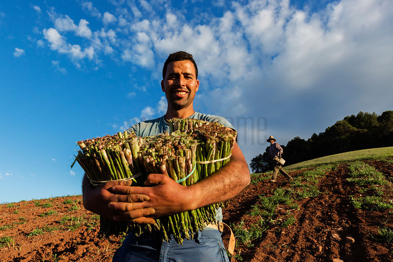 Seasonal Workers from Morocco Picking Asparagus