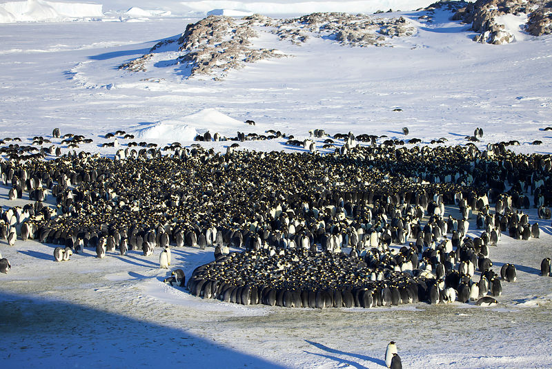 Emperor penguin (Aptenodytes forsteri) colony with huddle, Antarctica, April.