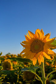 Summer Sunflower #1