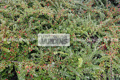 la phototh que les plus beaux jardins cotoneaster dammeri mooncreeper bearberry. Black Bedroom Furniture Sets. Home Design Ideas