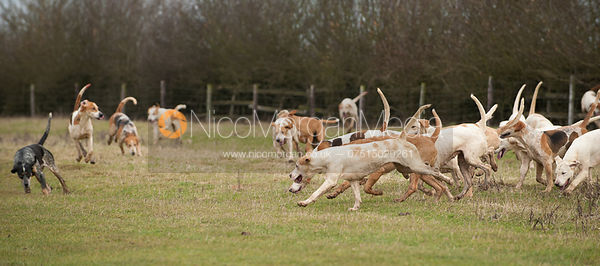 Cottesmore Hunt foxhounds