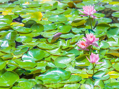 Water lilies floating on a stil pond