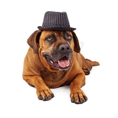 Mastiff Wearing Pinstripe Hat