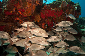 School of jacks near overhanging coralhead on San Francisco Wall divesite, Cozumel, Mexico
