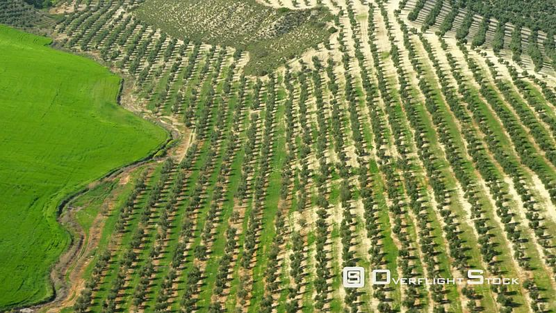 Aerial View of Lush Green Field First Part Shows Olive Plantation, Spain