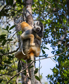 Diademed sifaka (Propithecus diadema) with baby,  Andasibe National Park,  Madagascar; Portrait
