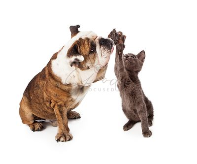 Bulldog and Kitten High Five
