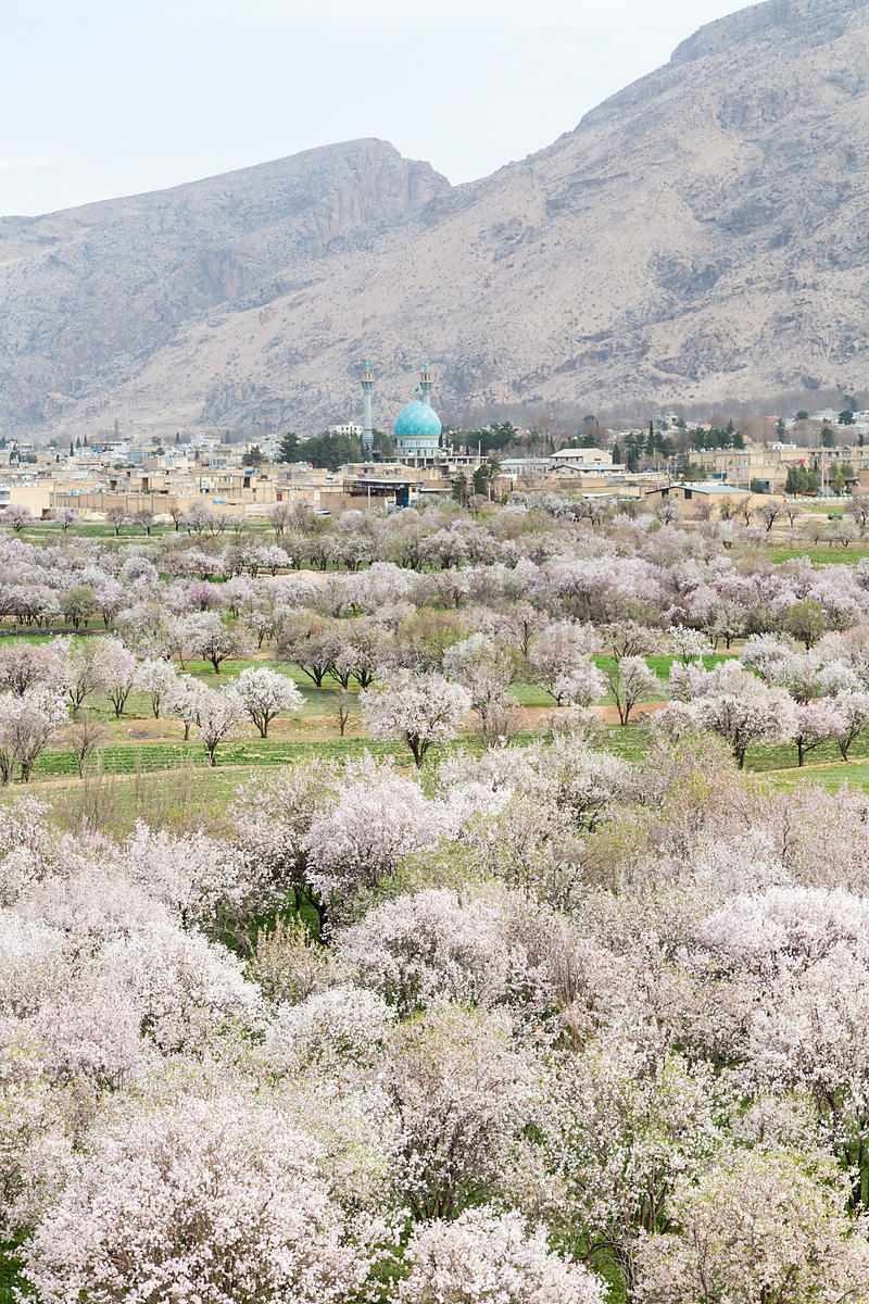 Flowering Almond Tree Orchard