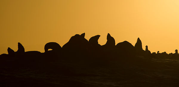 Cape Fur Seals at Dawn
