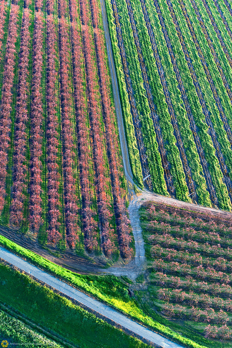 Peach Orchards in Bloom from the Air #13