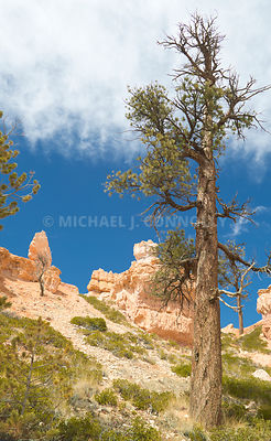 Weathered Pine Tree- Bryce Canyon, Utah