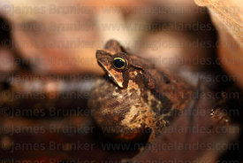 South American common toad or mitred toad (Rhinella margaritifera, formerly Bufo margaritifer) inflating throat while croaking