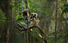 Coquerel's Sifaka Family