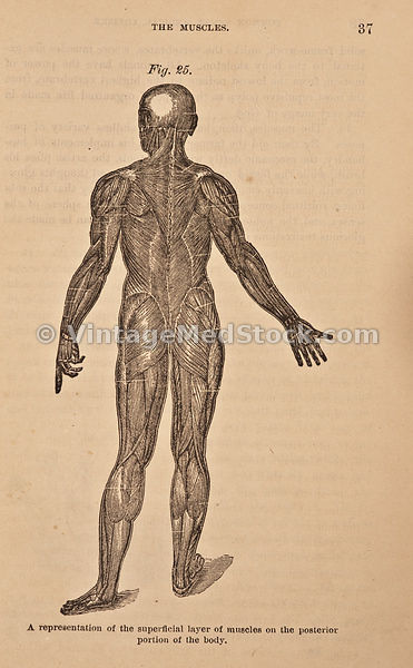 Posterior View of Full Body Musculature