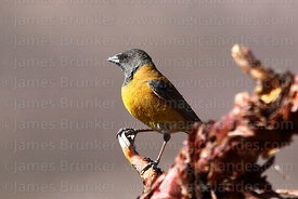 Adult female Black hooded sierra finch (Phrygilus atriceps) on polylepis tree