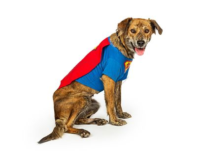 Hound Dog Wearing Superhero Costume